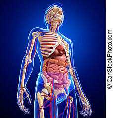 Illustration of male skeletal, digestive and circulatory system