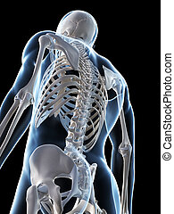 Male skeleton - 3d rendered illustration of the male...