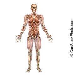 A male human skeleton with internal organs, overlaid with semi-transparent muscles - 3D render.