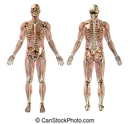 Male skeleton with Semi-transparent Muscles - medically accurate 3D render.