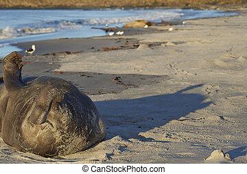 Male Southern Elephant Seal (Mirounga leonina) lying on a...