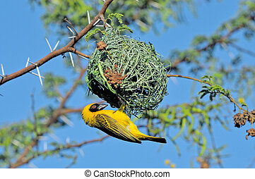 Male Southern Masked Weaver building nest - Male Southern...