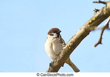 male sparrow close up