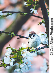 Male sparrow perched on cherry tree with spring white blooms