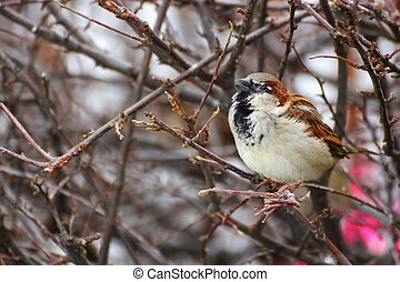 male sparrow singing