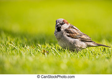 Male sparrow with sunflower seed in beak