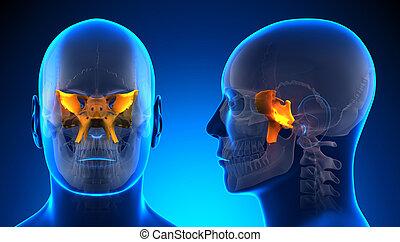 Male Sphenoid Skull Anatomy - blue concept