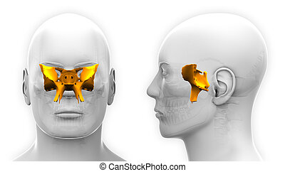Male Sphenoid Skull Anatomy - isolated on white
