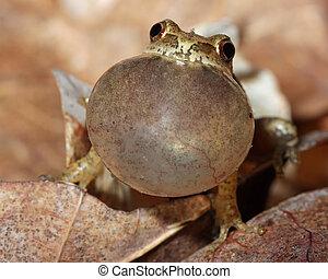 Male Spring Peeper