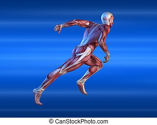 male sprinter - 3d rendered anatomy illustration of a male ...