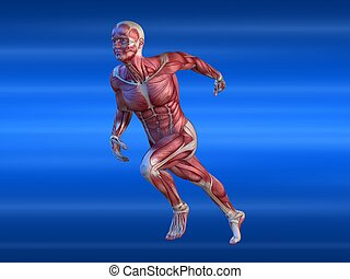 male sprinter - 3d rendered anatomy illustration of a male...