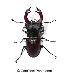 Male stag beetle isolated on white