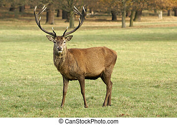 Male Stag Deer stares at the camera