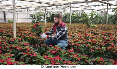 Skilled florist man engaged in cultivation of plants of poinsettia in greenhouse