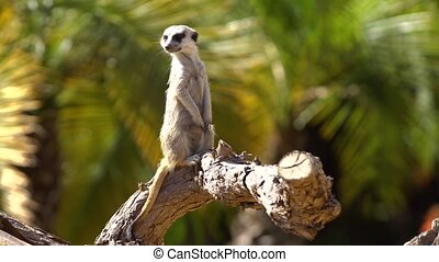 suricate watching around - male suricate watching around in...