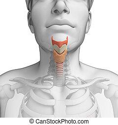 Male throat anatomy - Illustration of male throat anatomy