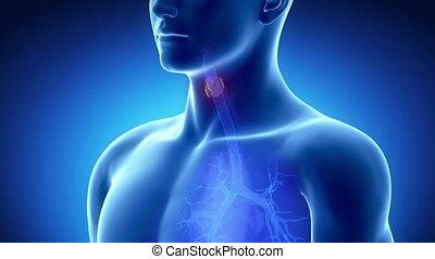 Male THYROID anatomy in blue x-ray