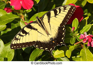 Male Tiger Swallowtail (papilio glaucas)
