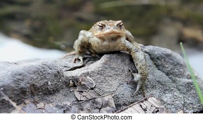 male toad  Bufo Bufo on a rock