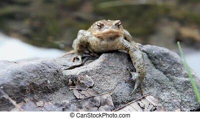 male toad  Bufo Bufo on a rock