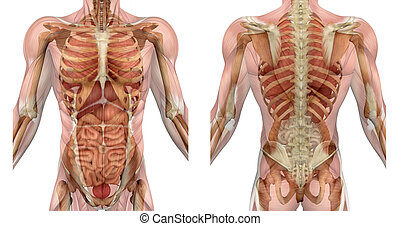 Muscles of the male torso, front and back, semi-transparent to reveal the internal organs and skeleton - 3D render.
