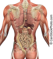 Male torso with muscles, with a fadeout revealing the internal organs. 3D render.