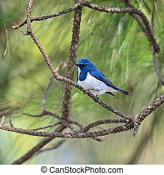 male Ultramarine Flycatcher - Colorful blue and white bird,...