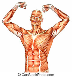 Male Upper Body Anatomy - Illustration of the anatomy of the...