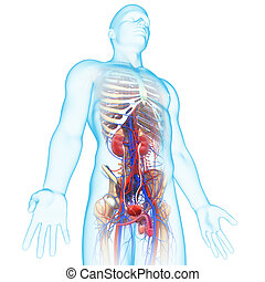 Male Urinary System - 3d rendered illustration of Male...