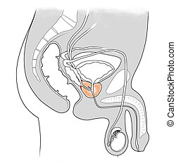 medical illustration for the cross-section of male urinary system
