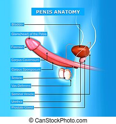 Male urinary system with names