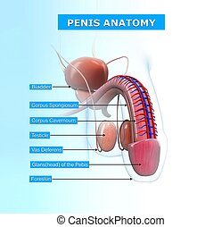 Male urinary system with names - 3d rendered illustration of...