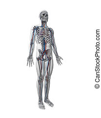Male vascular system - 3d rendered illustration - vascular...