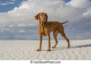 male vizsla dog outdoors