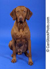male vizsla dog sitting