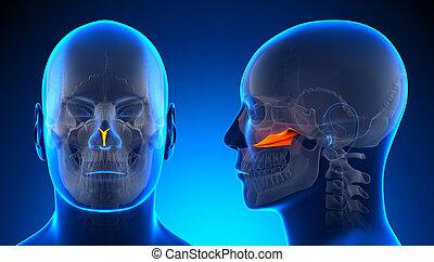 Male Vomer Skull Anatomy - blue concept