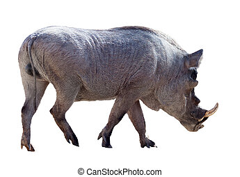 Male warthog. Isolated over white