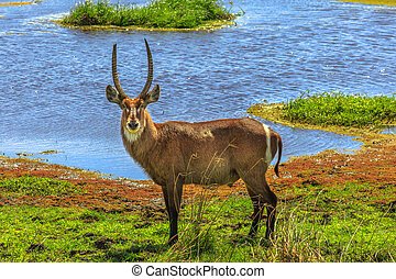 Male Waterbuck on a river - Adult male Waterbuck, Kobus...