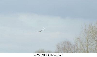 Male Western Marsh Harrier raptor (Circus aeruginosus) flying or in flight against a cloudy blue sky