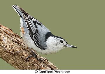 Male White-breasted Nathatch (Sitta carolinensis) Perched on a Branch - Ontario, Canada