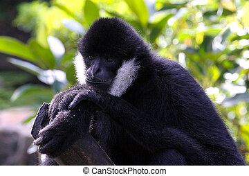 Male White-Cheeked Gibbon - Hylobates leucogenys