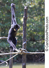 male White-cheeked gibbon (Nomascus leucogenys)