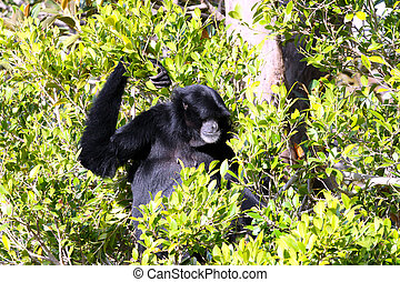 Male White-Cheeked Gibbon sitting in Tree - Hylobates leucogenys