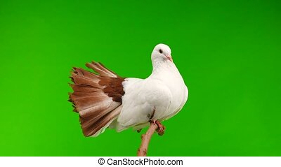 male white dove peacock isolated on a green screen as symbol...