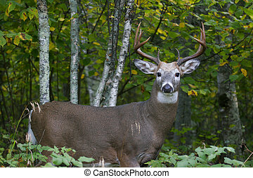 Male White Tailed De - a white tailed buck standing in the...