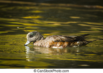 Male wigeon drinks water in the pond.