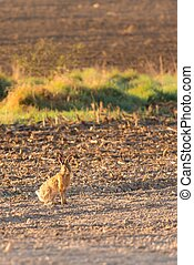 Male wild hare on the morning field