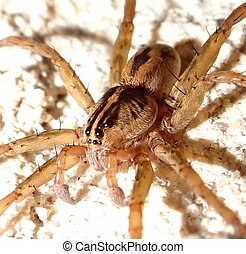 Male Wolf Spider on Textured Wall
