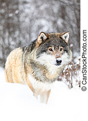 Male wolf stands in the snow in beautiful winter forest