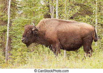 Male wood buffalo Bison bison athabascae grazing